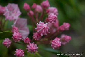 Mountain Laurel - Dripping Spring Mtn.